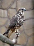 Flying predator Stock Images