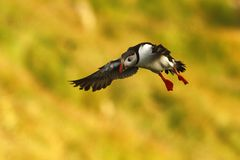 Flying puffin, Atlantic Puffin, Fratercula artica, arctic black and white cute bird with red bill on yellow background. Outstretched wings, Island, coloured royalty free stock photography