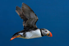 Flying puffin. Atlantic Puffin, Fratercula artica, artic black and white cute bird with red bill sitting on the rock, nature habit Stock Images