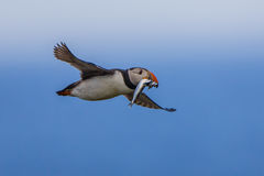 Flying Puffin with fish Stock Image