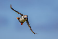 Flying Puffin Royalty Free Stock Images