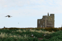 Flying Puffins on the Farne Islands Royalty Free Stock Photography
