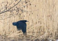 Flying Raven Royalty Free Stock Image
