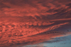 Flying into red clouds. Ducks are flying during sunset with red clouds Royalty Free Stock Photography