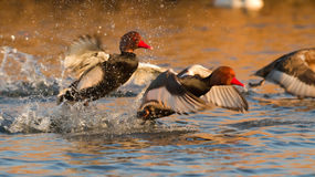 Flying Red crested pochard Royalty Free Stock Photo
