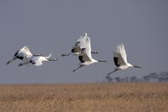 Flying the red-crowned crane bird Royalty Free Stock Image