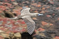 Galapagos flying red-footed booby Royalty Free Stock Photography