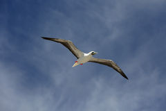 Flying Red Footed Booby