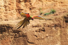 Flying red-fronted macaw Royalty Free Stock Photos
