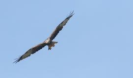 A flying Red Kite Milvus milvus. Royalty Free Stock Photo