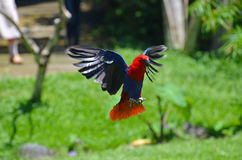 A flying red parrot in a tropical park Royalty Free Stock Image
