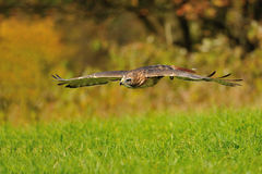 Flying Red-tailed Hawk Stock Photography