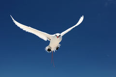 Flying Red-tailed Tropicbird. Royalty Free Stock Image