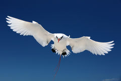 Flying Red-tailed Tropicbird. Stock Photo