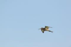 Flying redshank Stock Photos