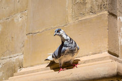Flying resident of Valletta, Malta Royalty Free Stock Image