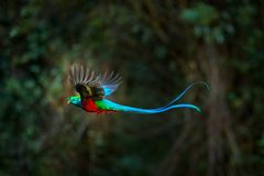 Flying Resplendent Quetzal, Pharomachrus mocinno, Costa Rica, with green forest in background. Magnificent sacred green and red