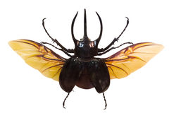 Flying rhinoceros beetle isolated on white Royalty Free Stock Images