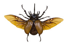 Free Flying Rhinoceros Brown Beetle Isolated On White Royalty Free Stock Photo - 53258685