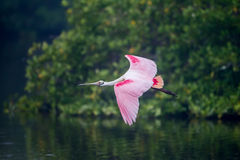 Flying roseate spoonbill in morning fog