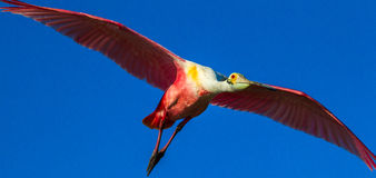 Flying Roseate Spoonbill Stock Photo