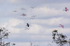 Flying roseate spoonbills and white ibises royalty free stock photo