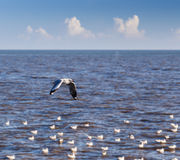 Flying rown-headed seagull Royalty Free Stock Image