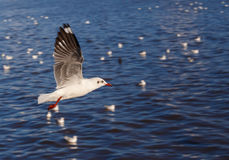 Flying rown-headed seagull Stock Photography