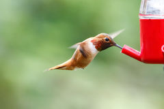 Flying rufous hummingbird Royalty Free Stock Image