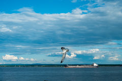 Flying and Sailing. A seagull fly over a cargo on st-lawrence river Stock Photo