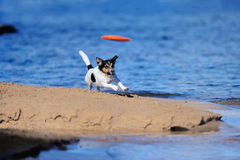 Flying Saucer. Jack Russell terrier playing with flying disc on the seashore Stock Photo