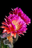 Flying Saucer Cactus Blooms. An Echinopsis Hybrid, Trichocereus Hybrid commonly known as a Flying Saucer. Two, pink, night blooming, cactus flowers against a Stock Image