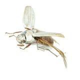 Flying scarab beetle Stock Images