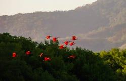 Flying Scarlet ibises in Caroni Swamp national park, TnT royalty free stock photo