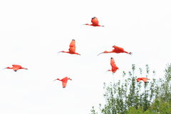 Flying scarlet ibises Royalty Free Stock Images