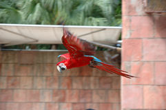 Flying scarlet macaw Stock Image