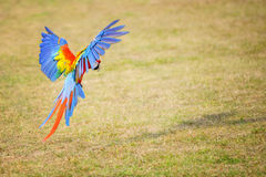 Flying Scarlet macaw - Ara macao Royalty Free Stock Photos