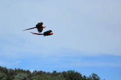 Flying scarlet macaws Royalty Free Stock Image