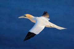 Flying sea bird, Northern gannet with nesting material in the bill, with dark blue sea water in the background, Helgoland island, Royalty Free Stock Photos