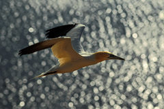 Flying sea bird, Northern gannet with nesting material in the bill, with dark blue sea water in the background, Helgoland island, Royalty Free Stock Images