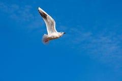 Flying sea gull Stock Photos