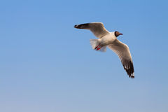 Flying Sea Gull Royalty Free Stock Photography