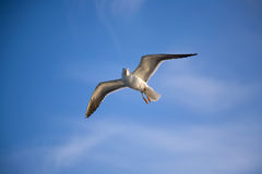 Flying sea gull Stock Image