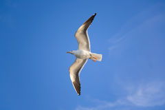 Flying sea gull Royalty Free Stock Photo
