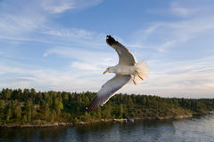 Flying sea gull Stock Photo