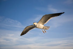 Flying sea gull Stock Images