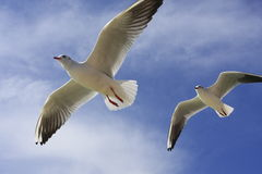 Flying sea gull royalty free stock photos