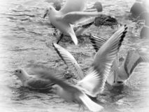Flying sea-gull in black and white. On a lake in whinter time royalty free stock photo