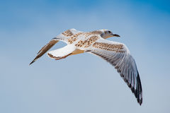 Flying Sea Gull Kid Stock Images