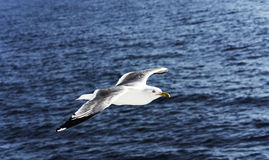 Flying sea-gull near the ferry ship Stock Image